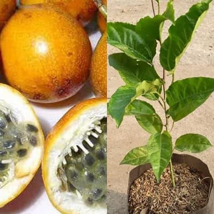 bibit tanaman buah markisa bibit markisa pohon markisa passiflora