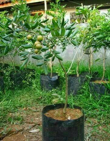 orisinil bibit pohon kelengkeng diamond klengkeng river lengkeng buah berkah