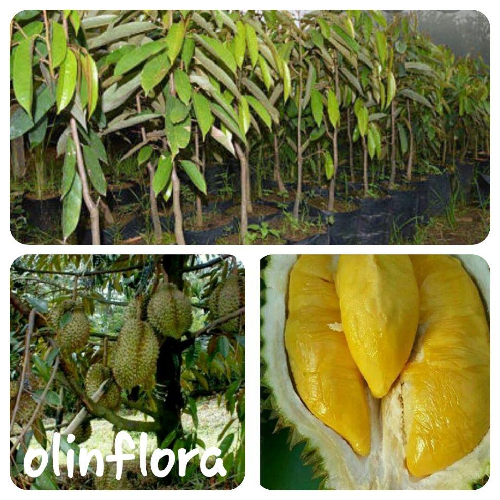bibit durian bawor (unggulan)