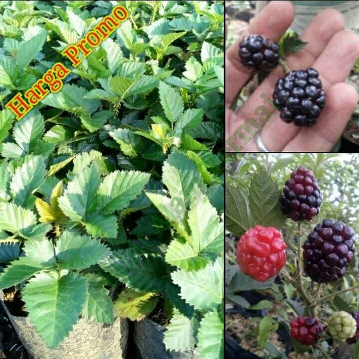 bssg bibit buah blackberry (berbuah)