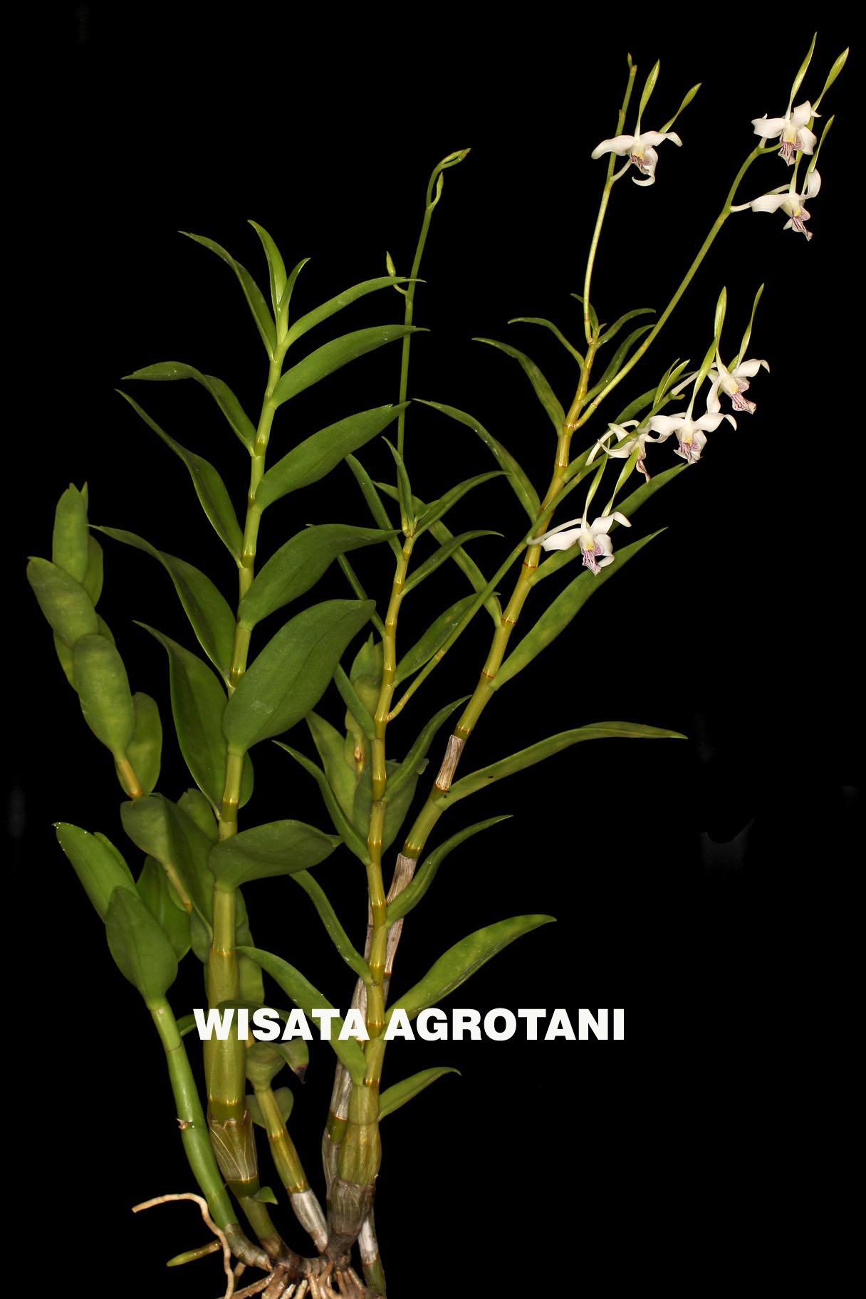bibit anggerk dendromium sedling dewasa agrotani bibit unggul krisna