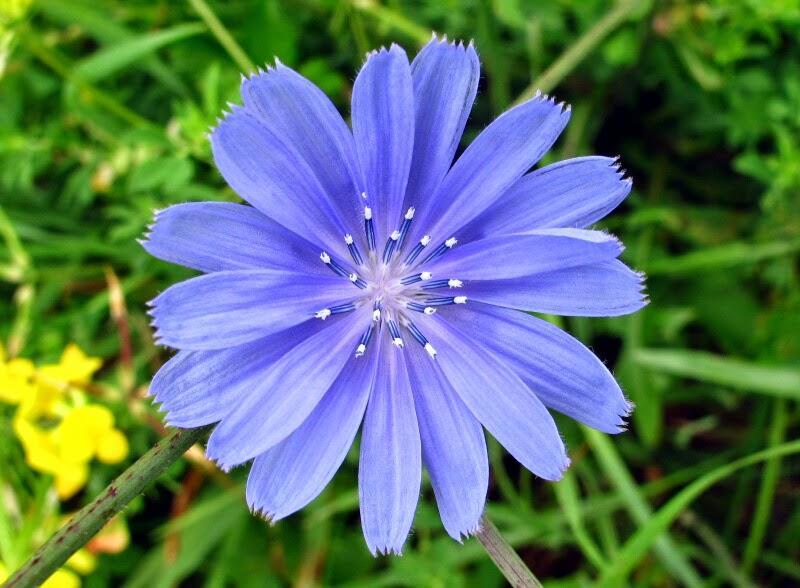 Amefurashi 30 Benih Bunga Blue Chicory - 2 ...