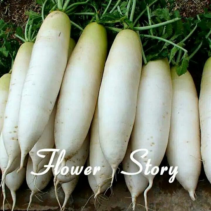 ufairah benih sayur lobak radish home growing vegetables