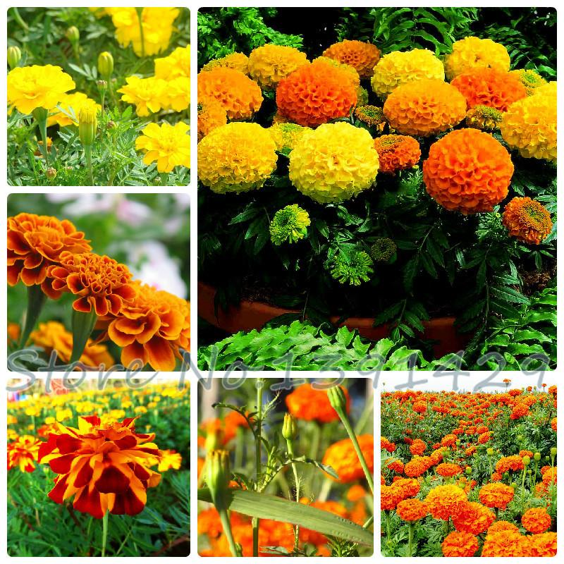 Amefurashi 15 Bibit / Benih Bunga French Marigold Petite Mix Yellow and Orange .