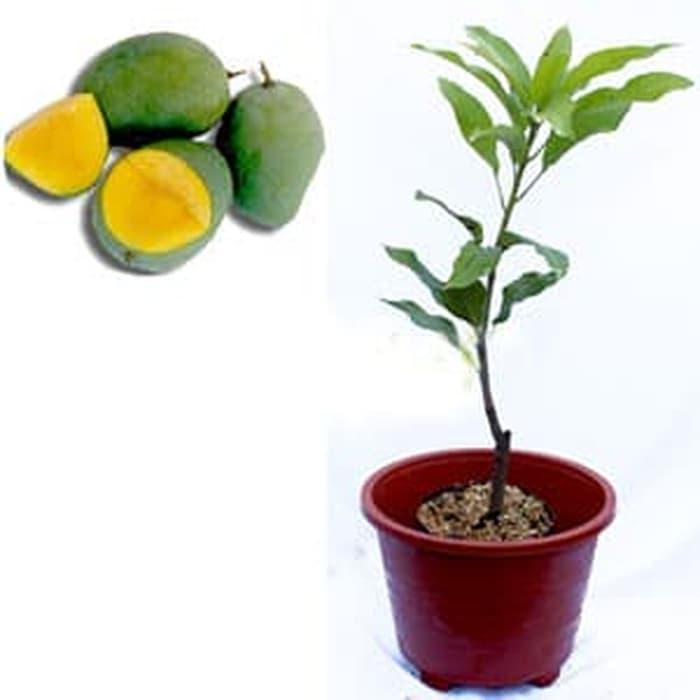 bibit tanaman buah mangga golek super pohon mangga golek y@i