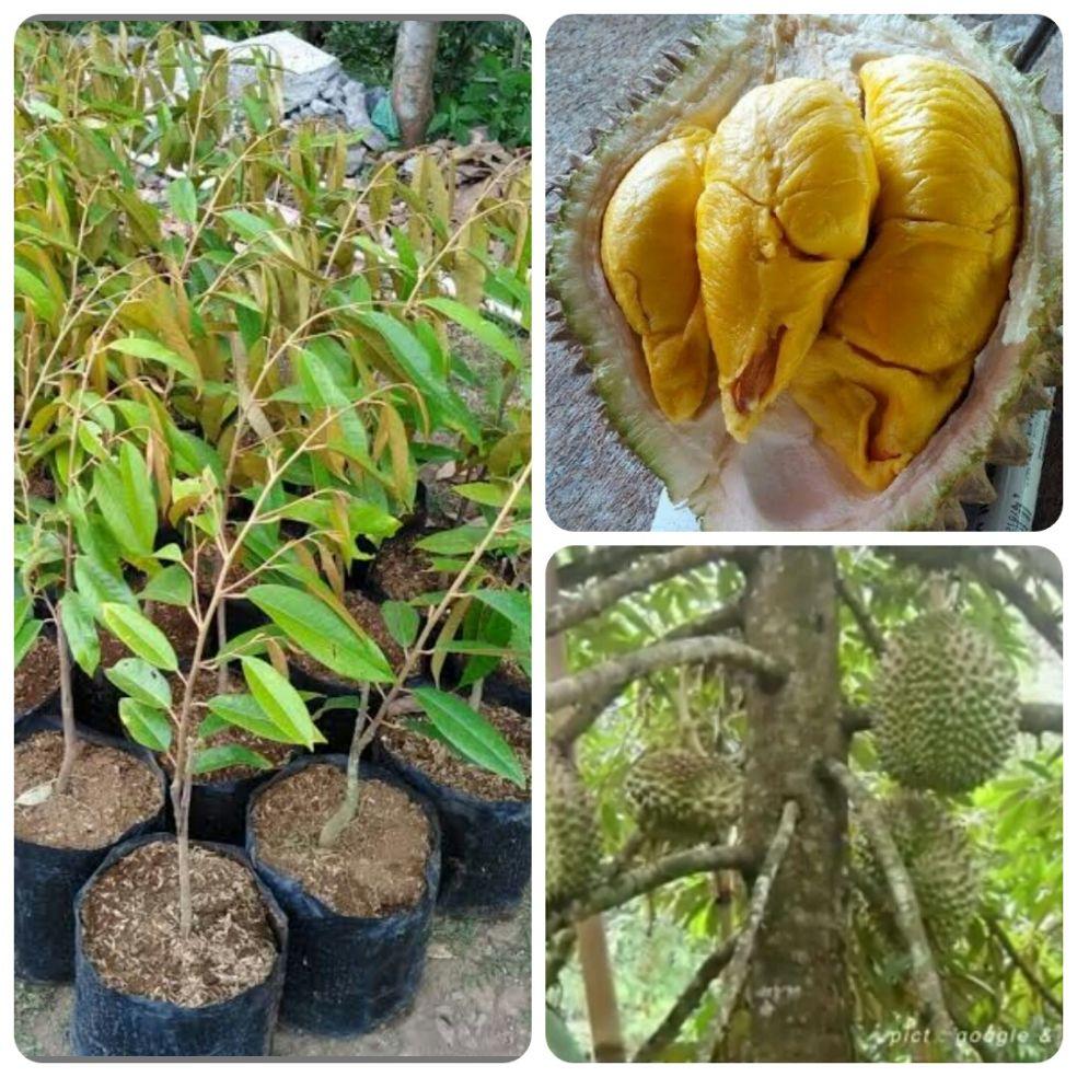 bibit durian montong unggulan bisa tanam pot