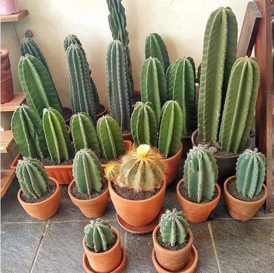 tanaman hias kaktus 50cm 30cm 20cm