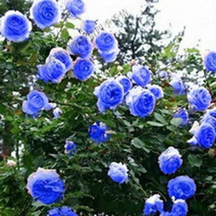 isi 25 butir benih bunga mawar biru safir / blue sapphire rose import