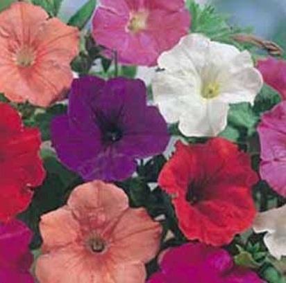 petunia-confetti-mixed-f2